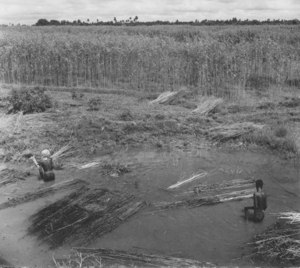 Image of Jute plants being retted DUNIH 200.11
