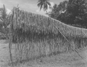 Image of Jute plants hung up to dry DUNIH 200.12