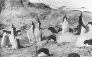 Image of Large group of Adelie penguins ROY.30.3.15