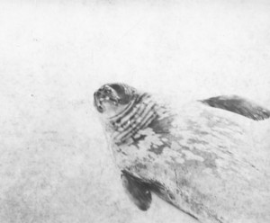 Image of Weddell seal ROY.30.4.46