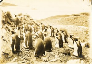 Image of Black and White Photograph of King Penguins, Discovery II DUNIH 2016.6.4