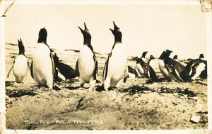 Image of Postcard of a Gentoo Penguin Rookery, Discovery II Expedition DUNIH 2016.6.11