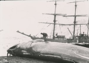 Image of Flensing of a whale at Grytviken Whaling Station DUNIH 2017.2.11